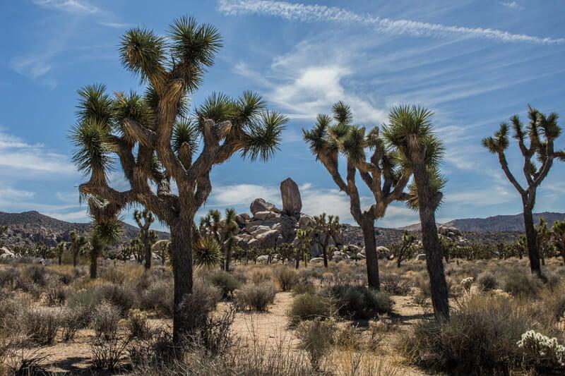joshua tree national park cactus in California