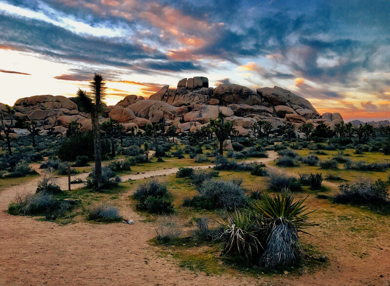 joshua tree cactus in the national park