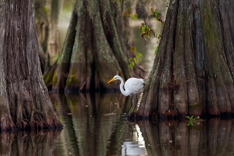 Crane In A Louisiana National Park River