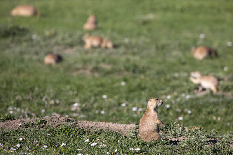 prairie dogs and mounds in the south dakota badlands