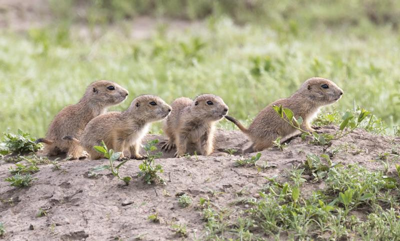 prairie dogs in roberts prairie dog town south dakota badlands