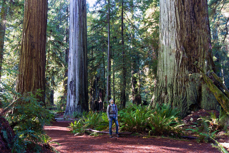 redwood forest in the california national park