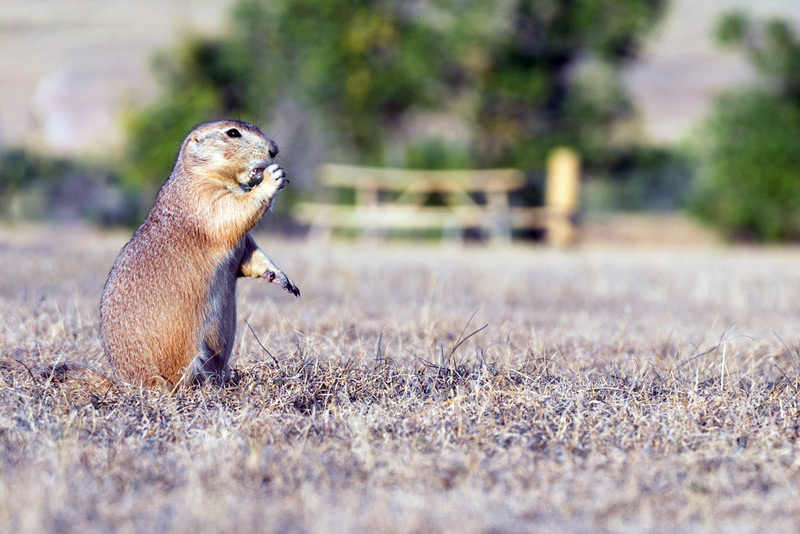 roberts prairie dog town in the south dakota badlands