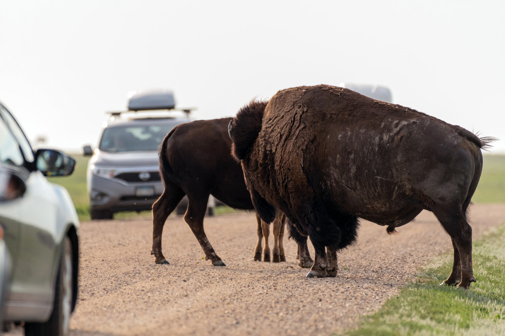stopping for bison while driving on sage creek rim road in badlands national park