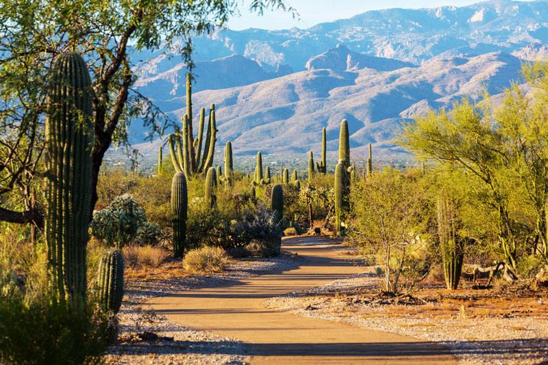 cacti and mountains in saguaro national park arizona