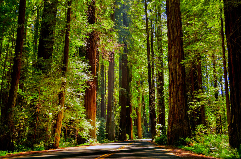 Scenic Drive In Redwood National Park