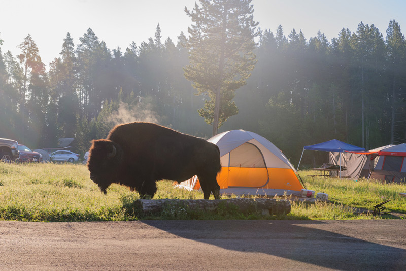 camping in yellowstone national park is one of the many things to do near wildlife