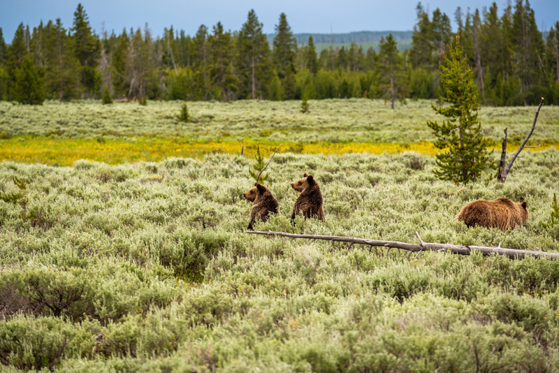 grizzly bears and wildlife viewing in yellowstone national park