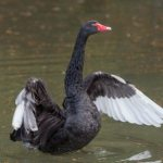 Portrait of a black swan in the water
