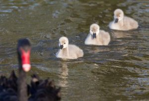 Cygnets of black swan swimming in the lake behind their mother