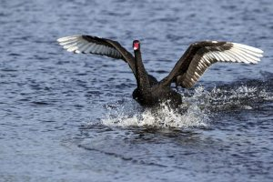 Black Swan (Cygnus aratus) taking flight out of a clear blue lake.