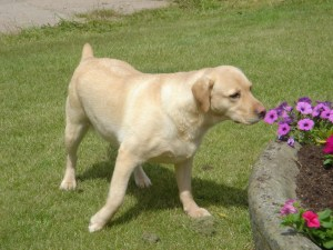 Honeybee Severnlye - park farm retrievers - small