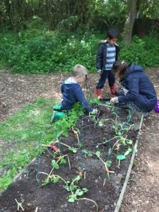 Planting our bean plants