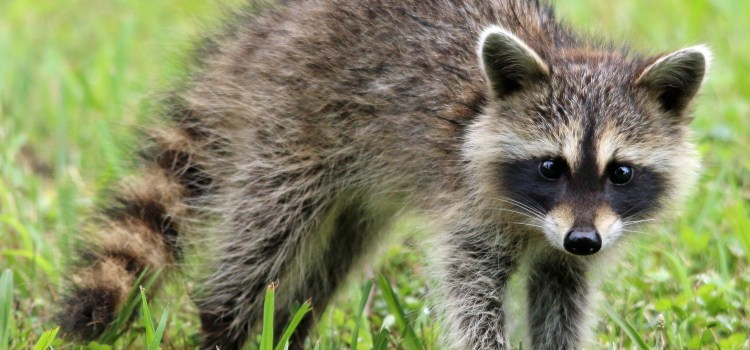 Unprovoked Raccoon Attacks, Bites, 13-Year-Old Girl