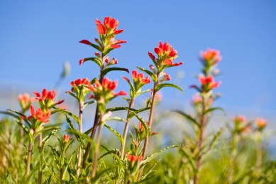 indian_paintbrush1(katiepark)_web