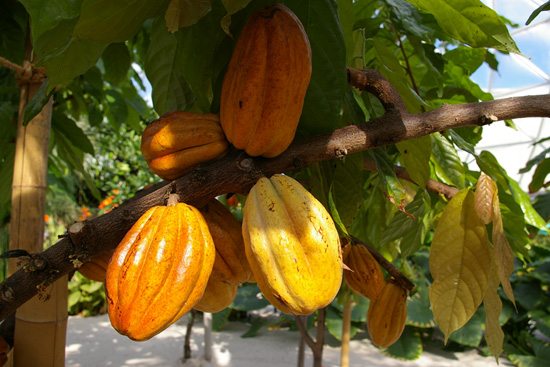 Cacao Trees in Full Bloom at The Land Pavilion at Epcot