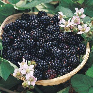 Image result for redbud, dogwood, blackberry blooms