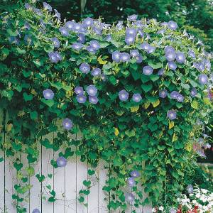Winsome Sale Heavenly Blue Morning Glory Not Blooming