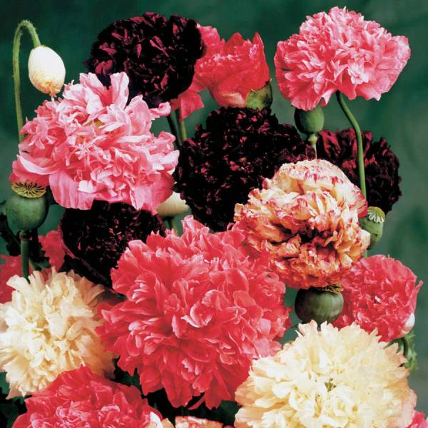 Park s Peony Mix Poppy Seeds from Park Seed Exclusive