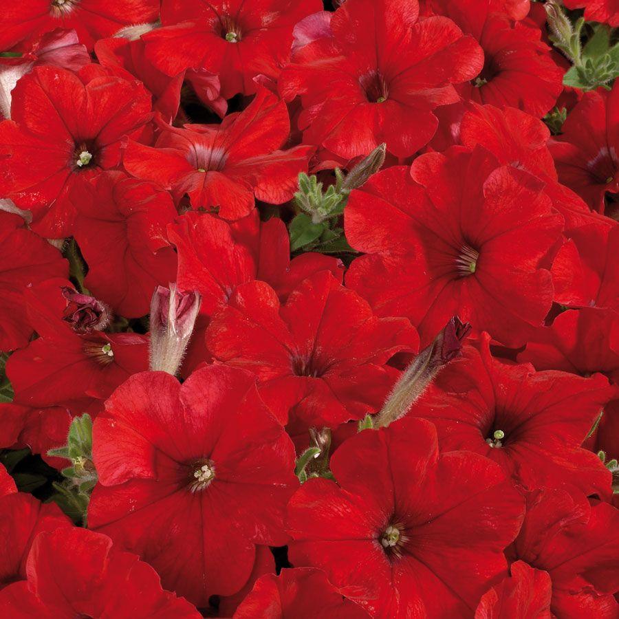 Celebrity Red Petunia Seeds