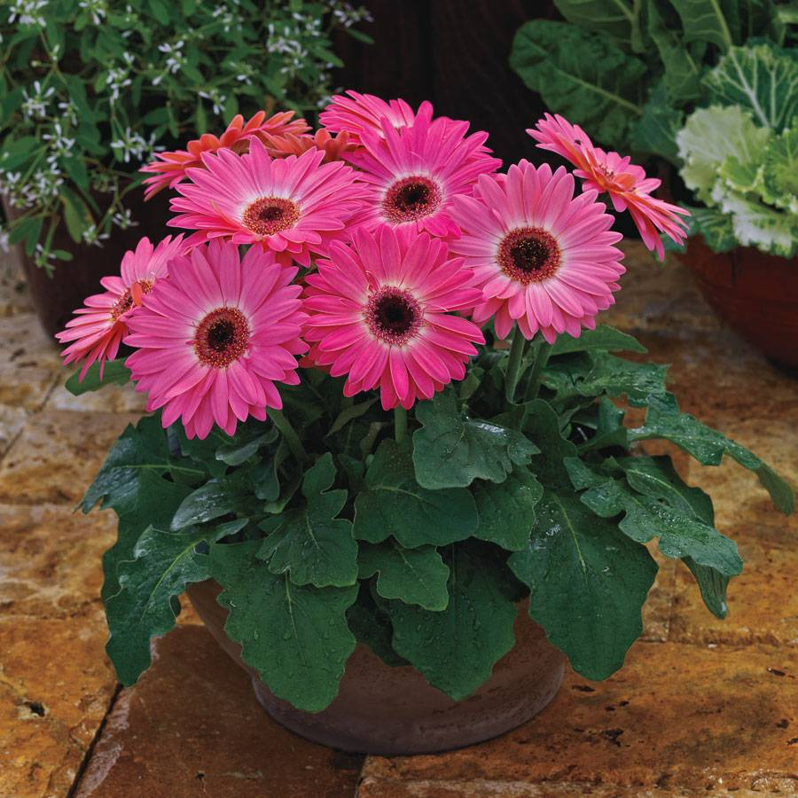 Majorette Pink Halo Gerbera Daisy Seeds from Park Seed Majorette Pink Halo Gerbera