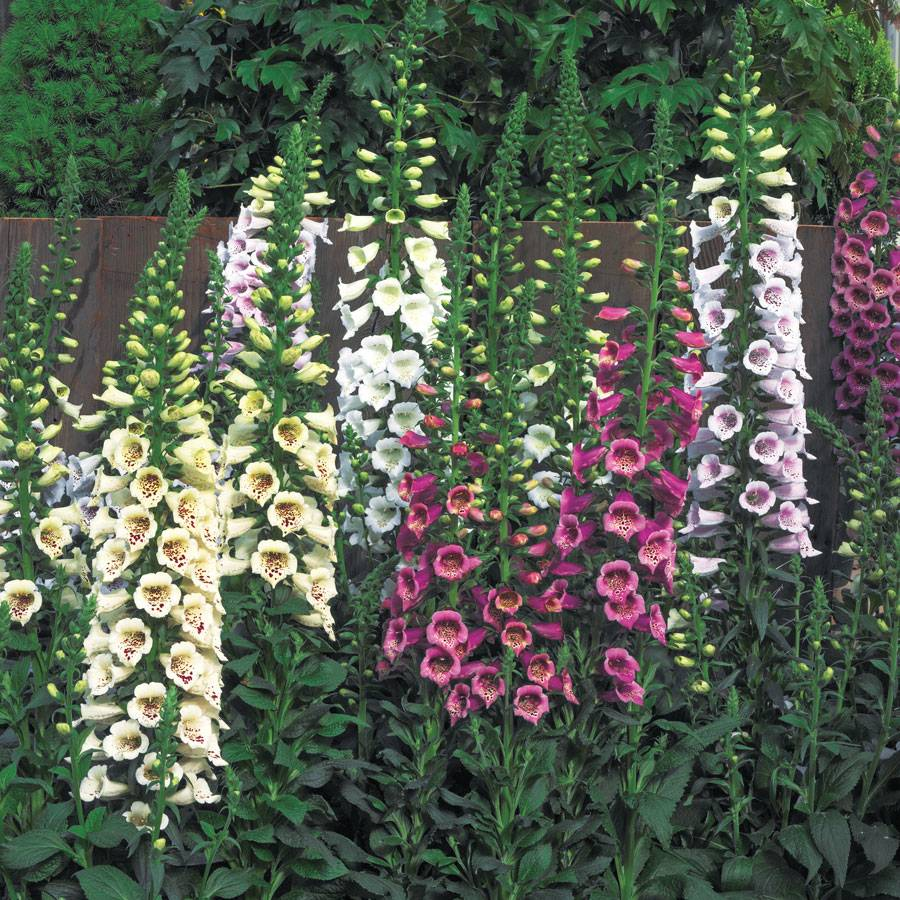 Camelot Mix Hybrid Foxglove Seeds From Park Seed