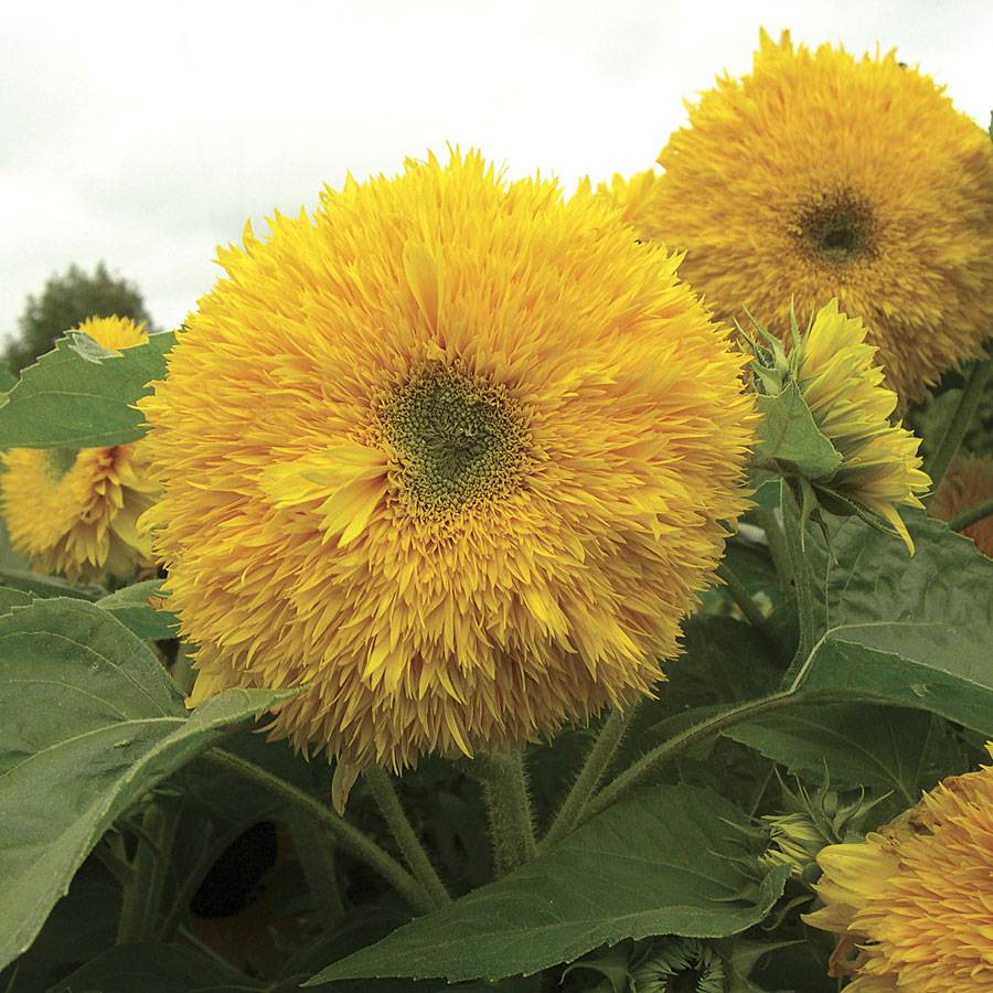 Superted Hybrid Sunflower Seeds From Park Seed