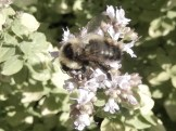 Bumble bee resting on marjoram