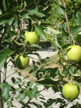 Yellow delicious apples to look forward to
