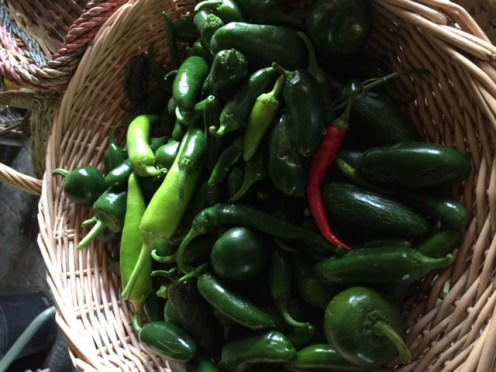 Last green peppers picked before the frost arrives!