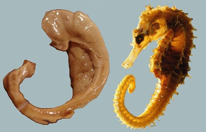 hipokampus ve deniz atı