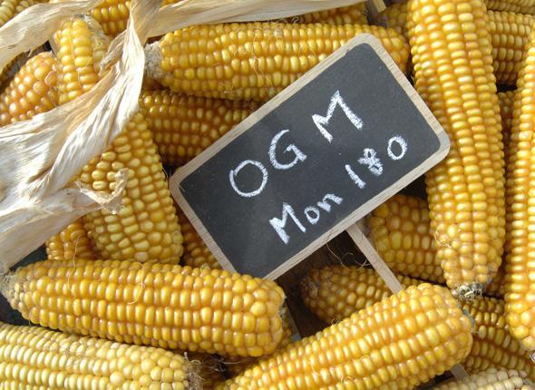 Ogm: il Governo Letta fa contenta la multinazionale Monsanto