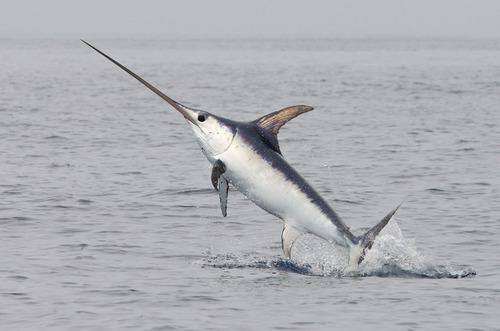 Pesca, subito sistema quote per pesce spada