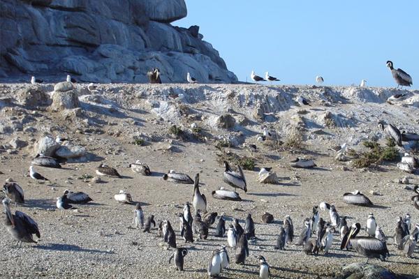 Islote Pájaros Niños - Playa El Canelo