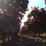 Виноградники Лахиша