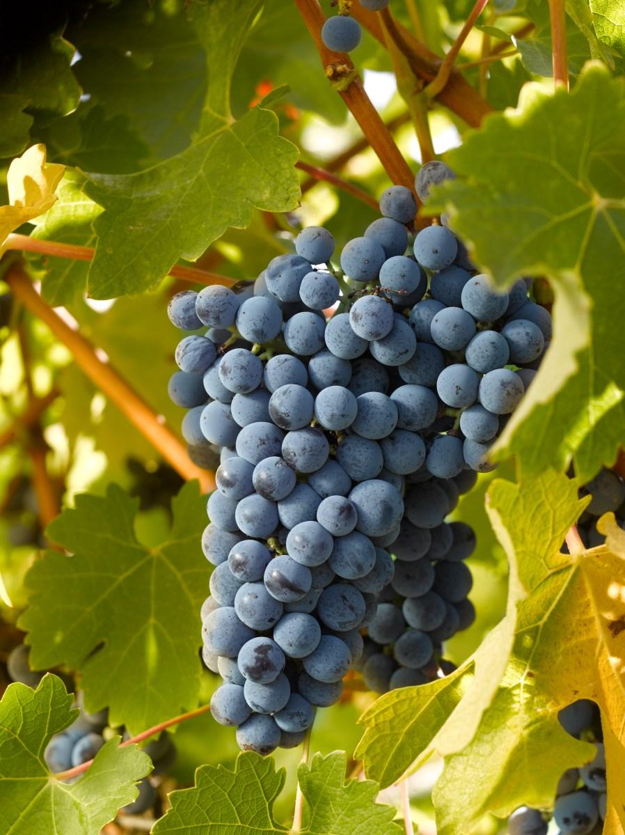 Conosciamoli meglio: il cabernet sauvignon. Caratteristiche e curiosità.