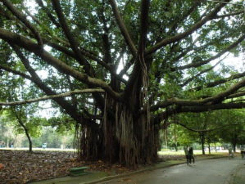 Foto: A magnífica falsa-seringueira (ficus elastica), árvore originária da Índia e do nordeste asiático, recentemente – e ilegalmente – eliminada na Praça da Paz, Parque Ibirapuera. Foto: Roberto Carvalho de Magalhães.