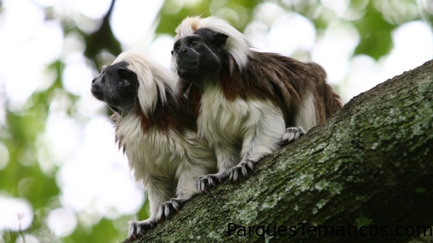 Monos tití cabeza blanca