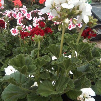 13cm Plants