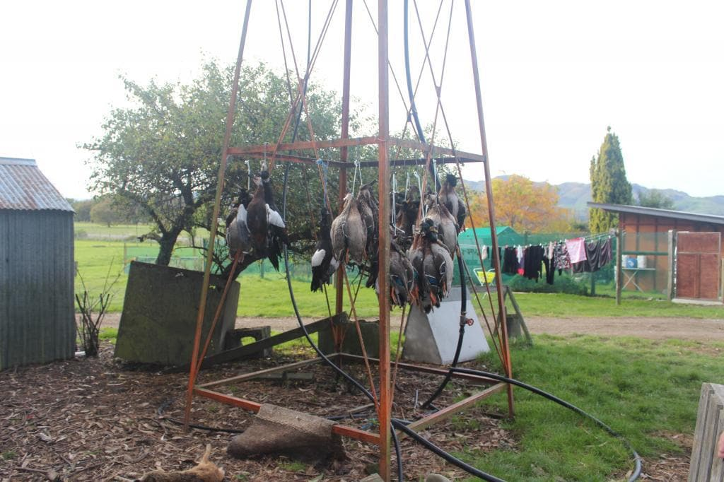 Some More Mallards Hanging to Dry