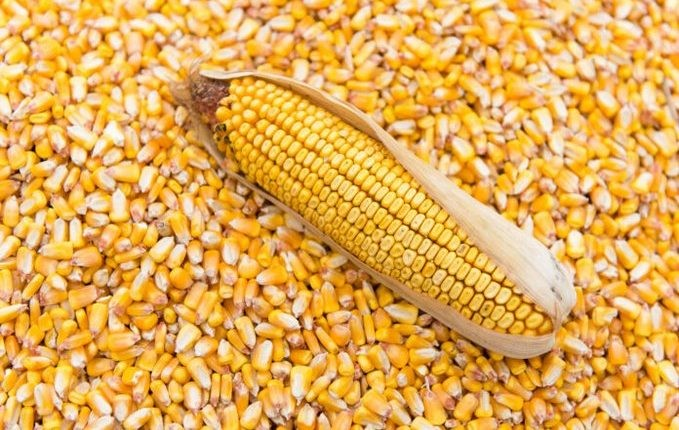 Here's why CBN took interim measure to approve emergency maize importation