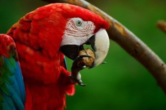 Red-and-green macaw eating nut with its beak