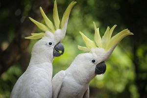 Sulfur crested Cockatoos couple while spreading their beautiful crown feathers