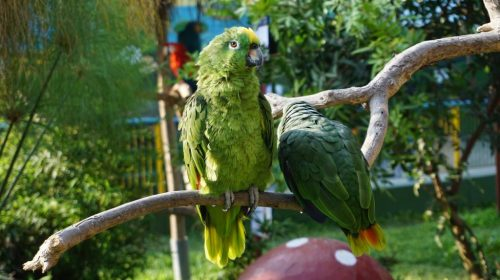 Amazon parrot couple on a branch in zoo