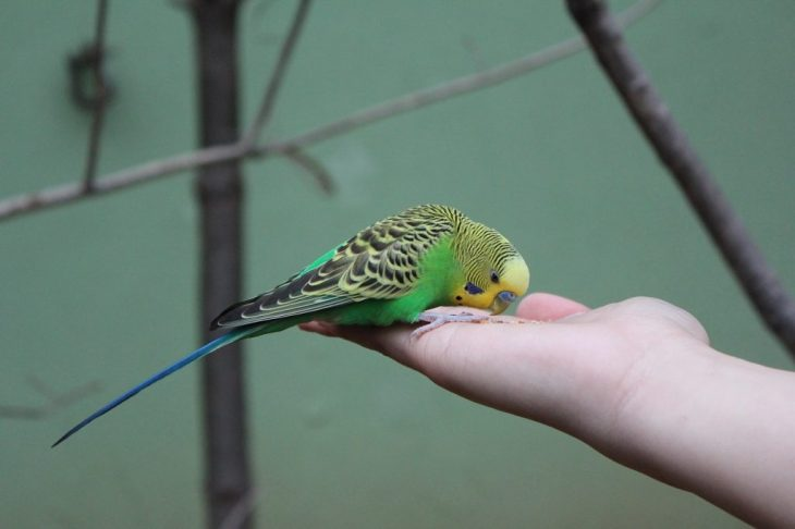 Budgie parrot eating food on women hand