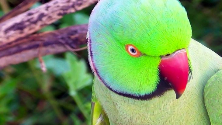 Angry Ring-neck parakeet looking into camera