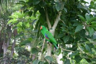 Male Electus parrot sitting trees