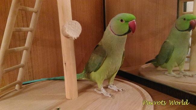 Алькрель попугая