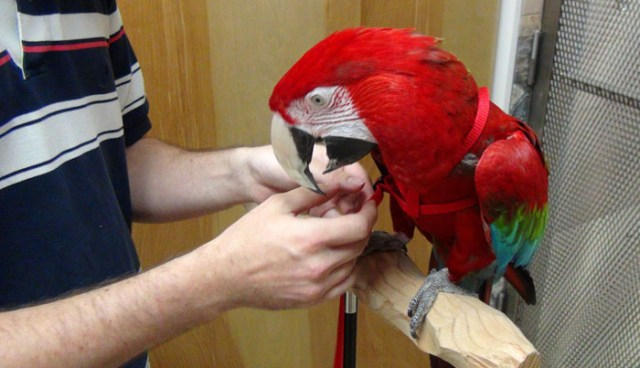 """Image result for green winged macaw for sale australia"""""""
