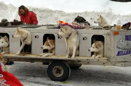 Sled Dogs waiting for the Seguin Sled Dog Mail Run